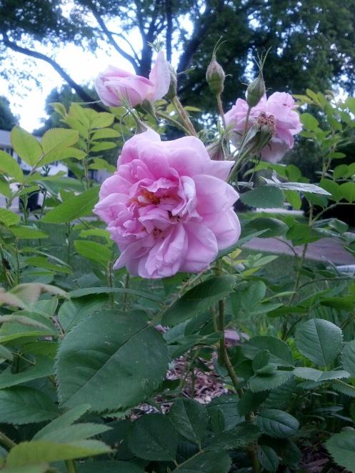 wales rose