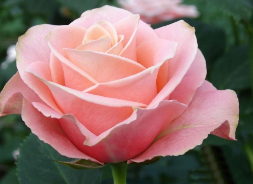 pink-roses-8d