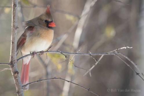 birthday-cardinal-2