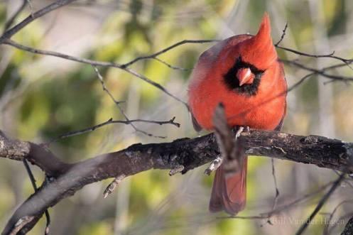 birthday-cardinal